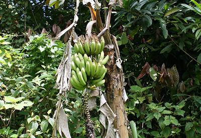 Dominica's Bananas