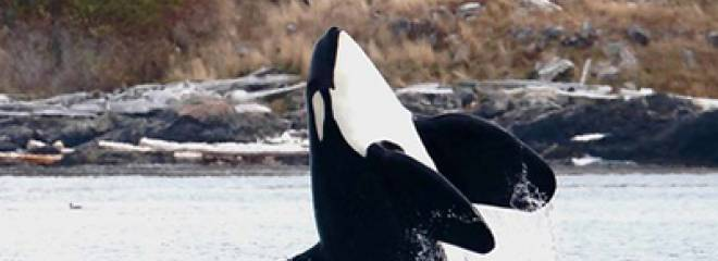 Boating BC is asking for your feedback to recover the Southern Resident Killer Whales